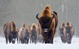European Bison Images