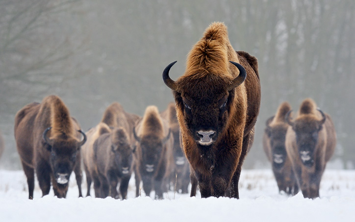 european bison facts  habitat  diet  life cycle  baby bison clipart png bison clipart png