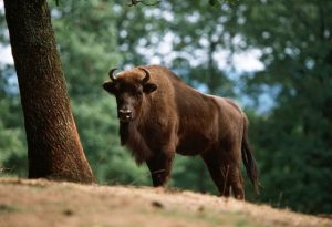 European Bison Photos