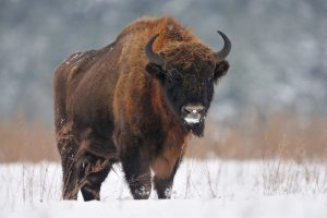 European Bison Pictures