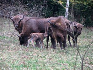Female European Bison with Calves