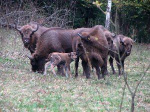 Female European Bison with Calves