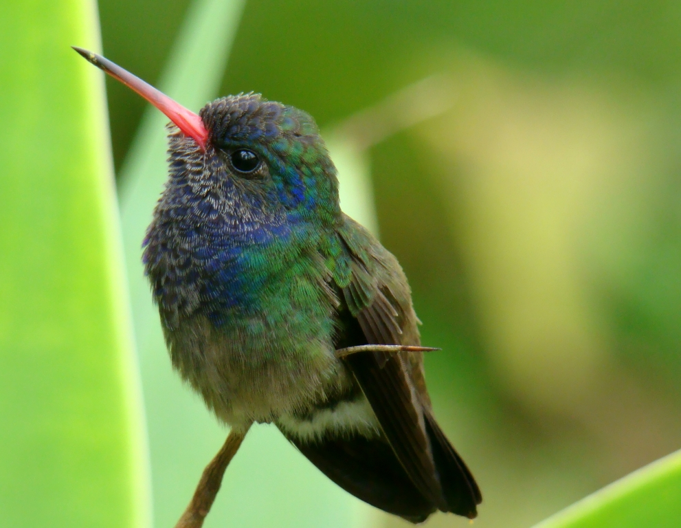 Bee Hummingbird Facts, Habitat, Diet, Life Cycle, Baby ...