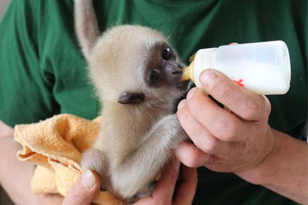 White Handed Gibbon Habitat, Facts, Behavior, Diet