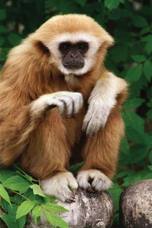 White Handed Gibbon Habitat Facts Behavior Diet