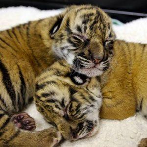 Baby Malayan Tiger