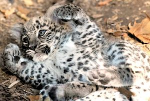 Baby Persian Leopard