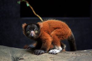 Baby Red Ruffed Lemur