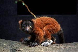 Baby Red Ruffed Lemur