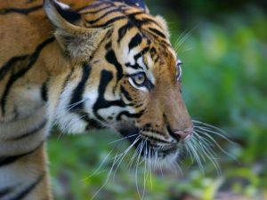 Malayan Tiger Face