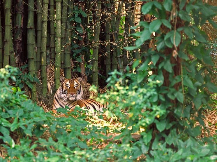 Natural tiger habitat