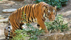 Malayan Tiger Images
