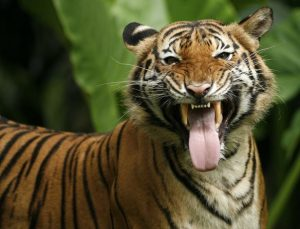 Malayan Tiger Pictures