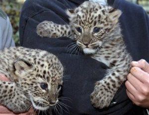 Persian Leopard Cubs