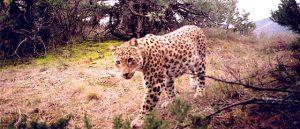 Persian Leopard Habitat