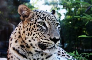 Persian Leopard Images