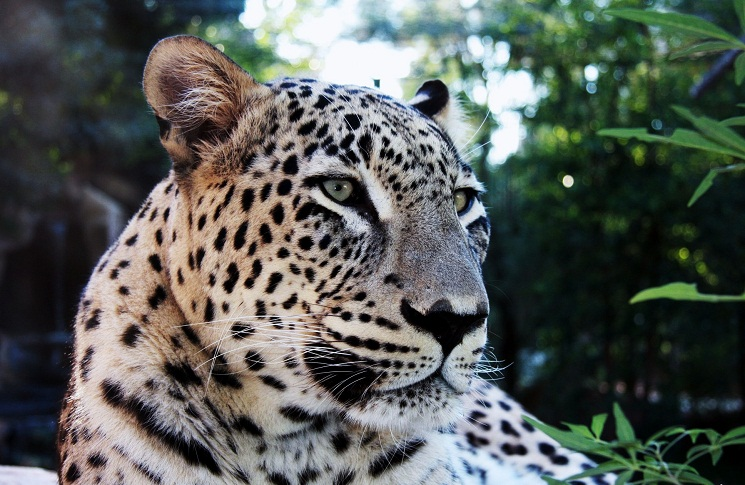 Sumatran Tiger Facts | Sumatran Tiger Habitat & Diet