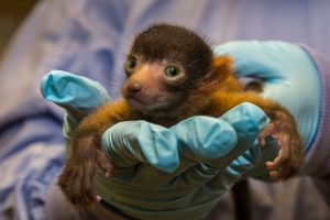 Red Ruffed Lemur Baby