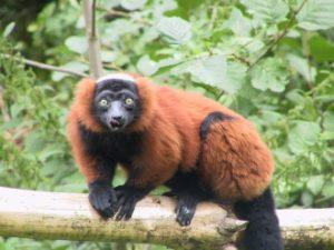 Red Ruffed Lemur Habitat