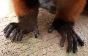 Red Ruffed Lemur Hands