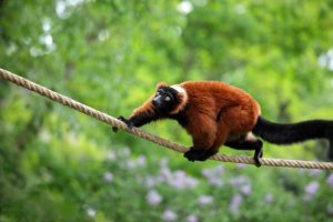 Red Ruffed Lemur Images