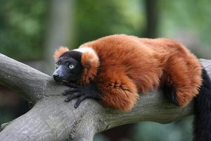 Red Ruffed Lemur Photos