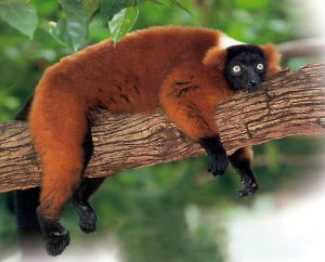 Red Ruffed Lemur Pictures
