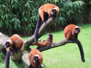 Red Ruffed Lemurs