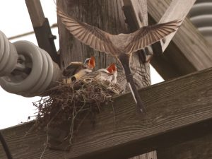 Scissor Tailed Flycatcher Babies