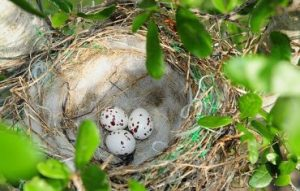Scissor Tailed Flycatcher Eggs