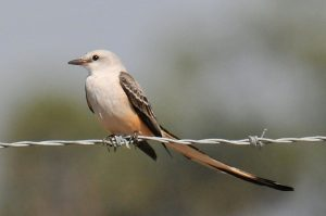Scissor Tailed Flycatcher Images