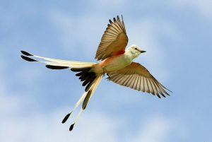 Scissor Tailed Flycatcher in Flight