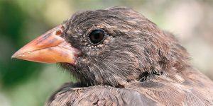 Vampire Finch Beak