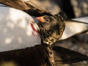 Vampire Finch Bird