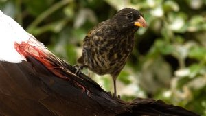 Vampire Finch Images