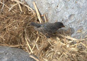 Vampire Finch Nesting