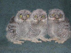 Babies Western Screech Owl