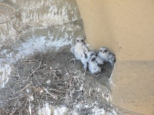 Baby Prairie Falcon