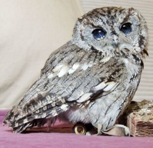 Blind Western Screech Owl