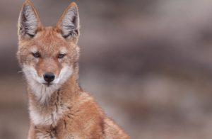Ethiopian Wolf Face