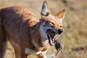 Ethiopian Wolf Hunting
