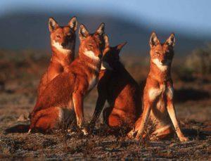 Ethiopian Wolf Images