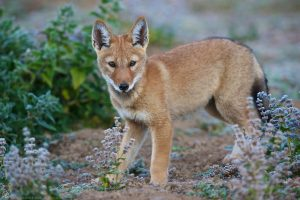 Ethiopian Wolf Pups