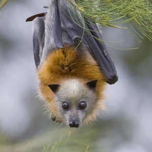 Grey Headed Flying Fox