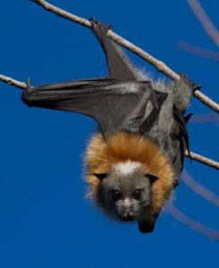 Grey Headed Flying Fox Bat