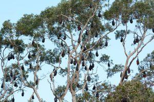 Grey Headed Flying Fox Habitat