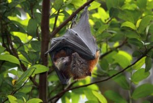 Grey Headed Flying Fox Images