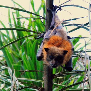Grey Headed Flying Fox Pictures