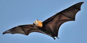 Grey Headed Flying Fox Size