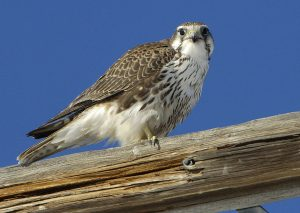 Prairie Falcon Bird